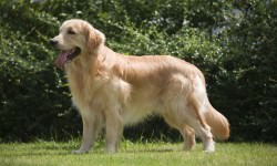 Beautiful-Golden-Retriever-Dog