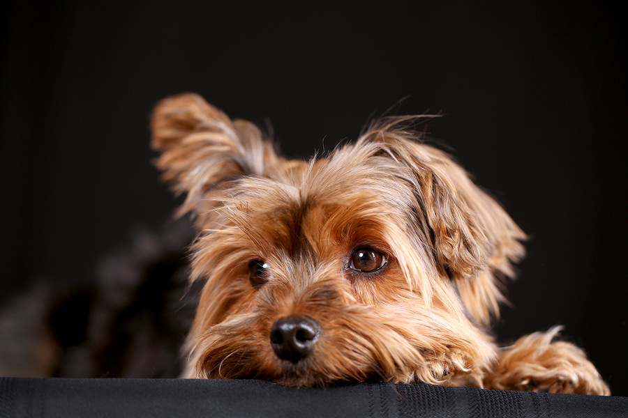 Cute-little-yorkshire-terrier