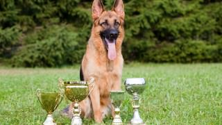 German-Sheepdog-With-Cups