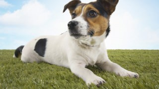 Jack-Russell-terrier-lying