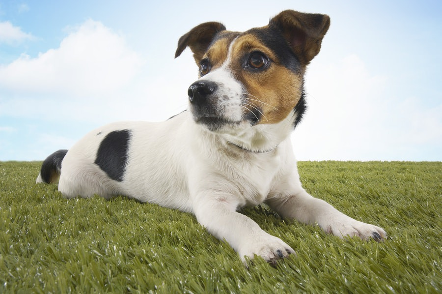 8 Things You Didn T Know About The Jack Russell Terrier