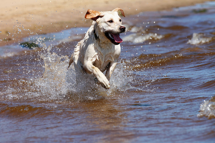Labrador-Retriever-Running