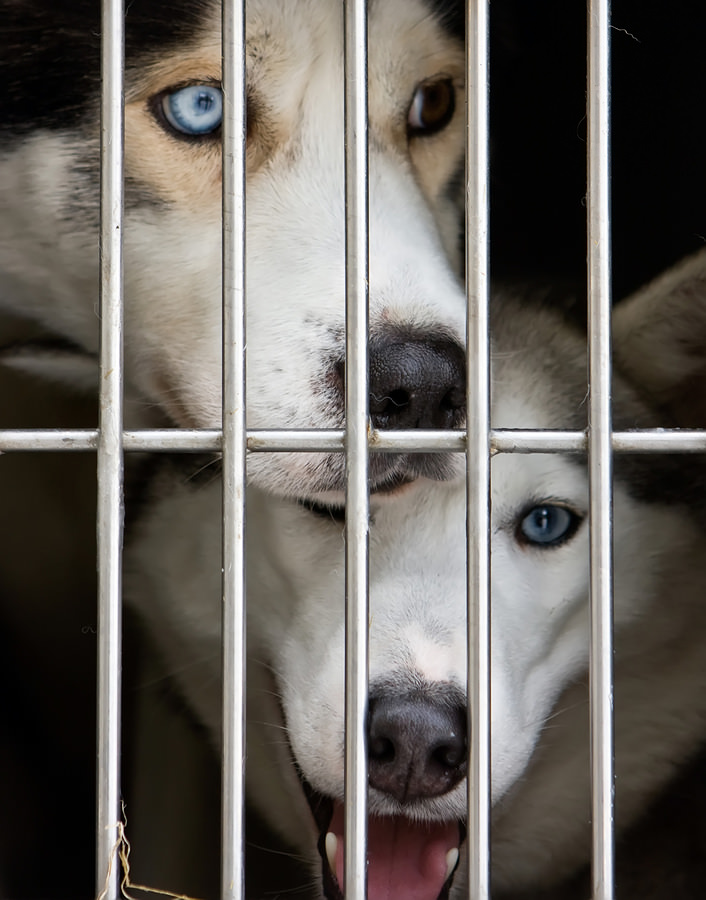 Photo-Of-A-Husky-Dogs-Watching