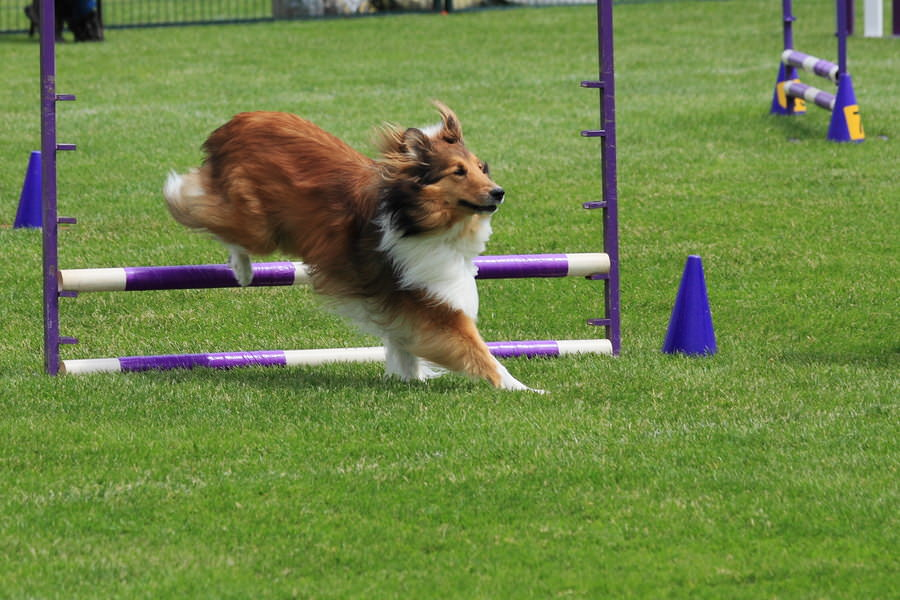 Sheltie-Jumping
