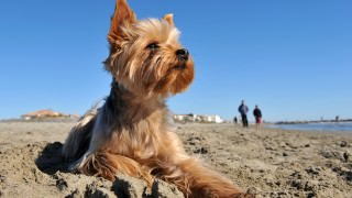 Yorkshire-Terrier-On-The-Beach