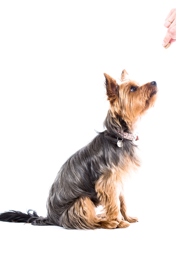 Yorkshire-Terrier-Waiting