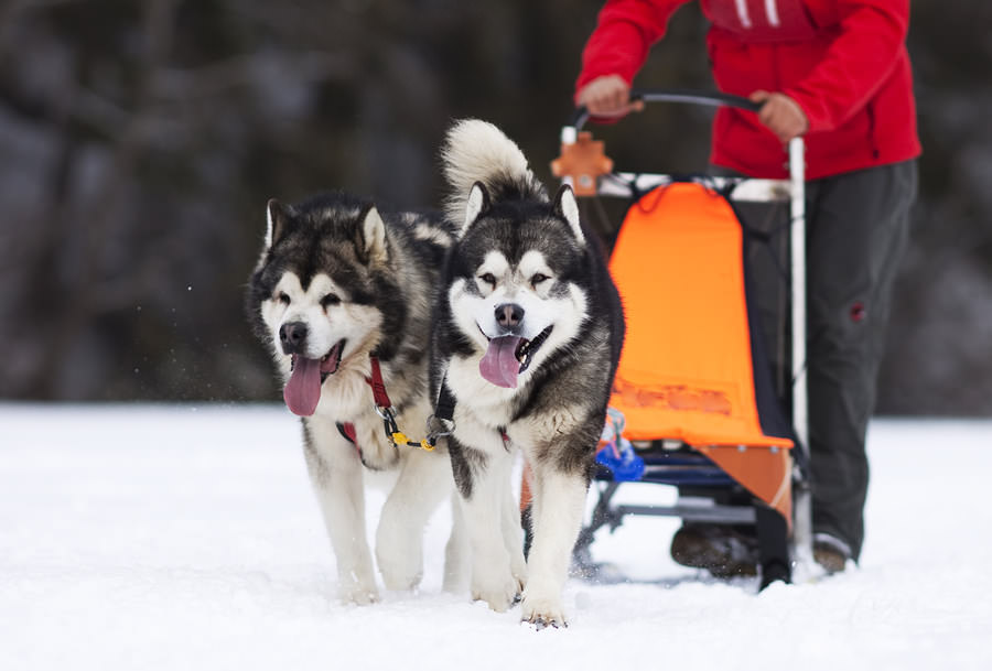 sled-dog-race-siberian-huskies