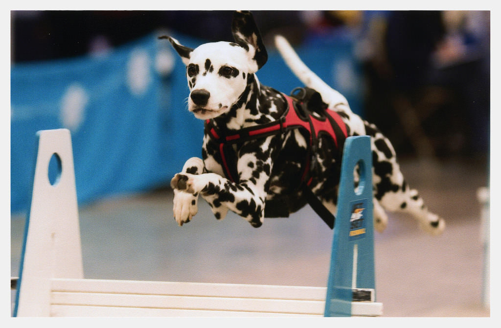 All Dalmatians are deaf and therefore impossible to train properly