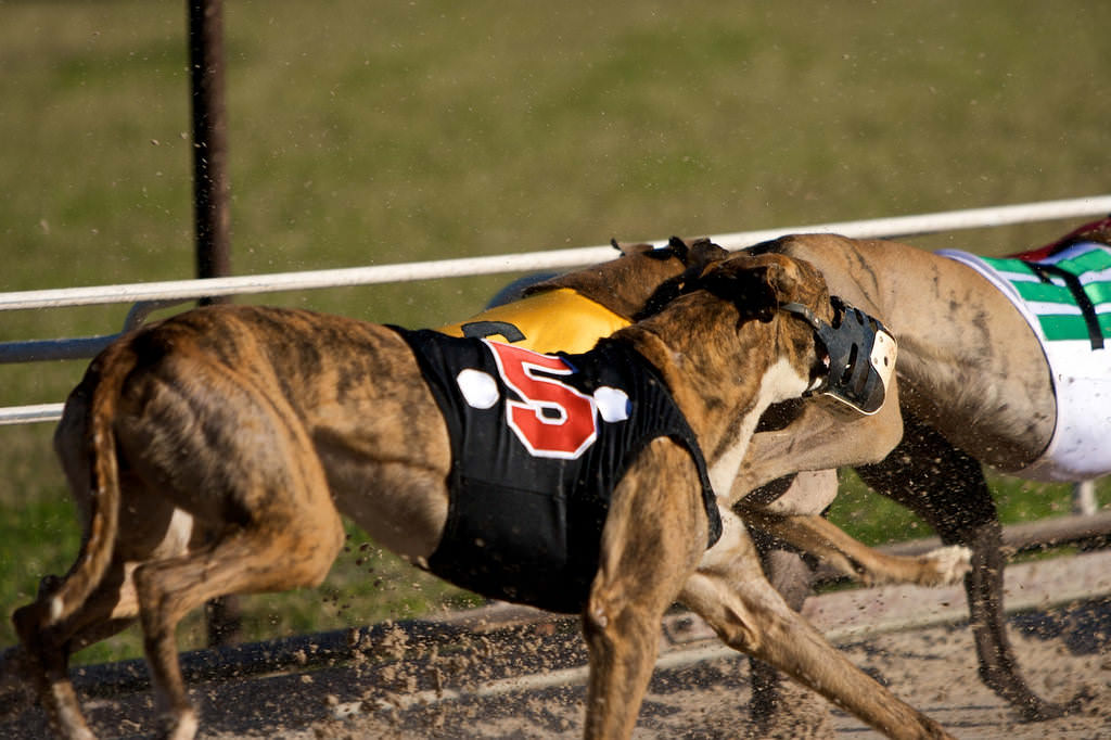1.  Myth: Greyhounds are from Egypt