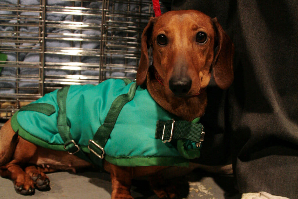 1. Myth: Neutering a male dachshund will make him a poor watchdog