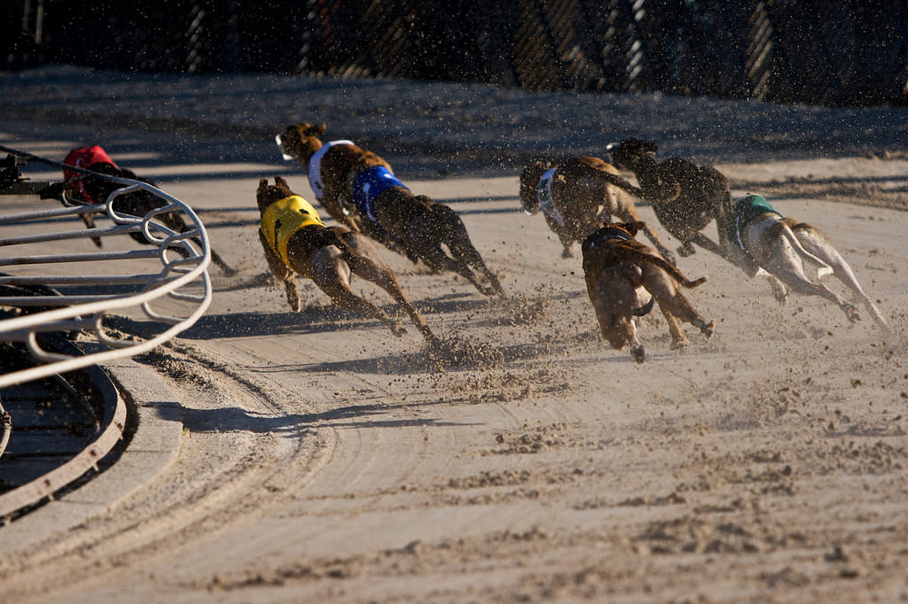 2. Myth: Greyhounds are bred solely for racing and dog shows