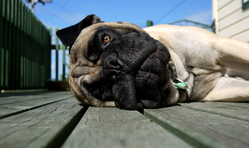 2. Myth: Bull mastiffs are vicious and will attack children and other animals