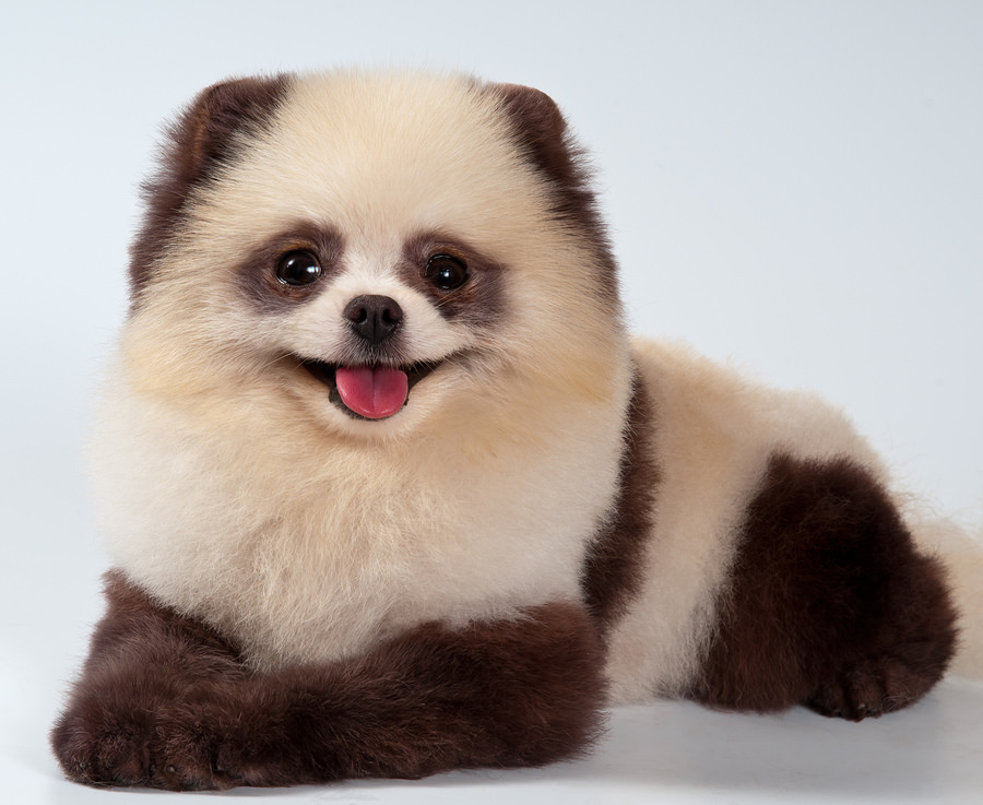 Chinese Panda Dogs | Dog Reference