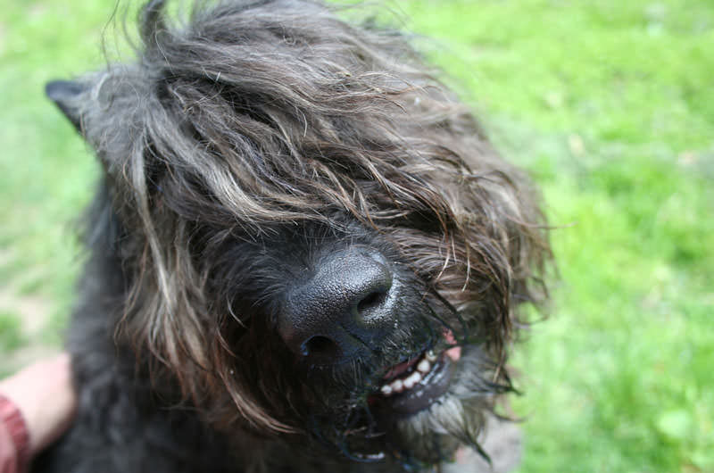 Hypoallergenic therapy dogs dog breeds picture