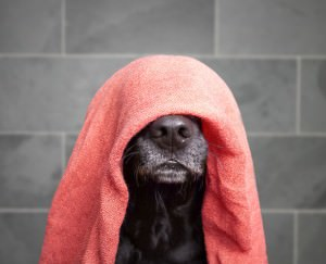 Labrador with towel on head