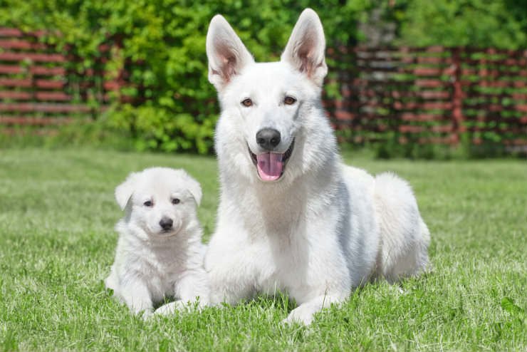 All You Need To Know About The White German Shepherd Dog